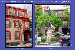 tree in front of 101 Front St.  - Schenectady NY Stockade - comparison after being trimmed by National Grid